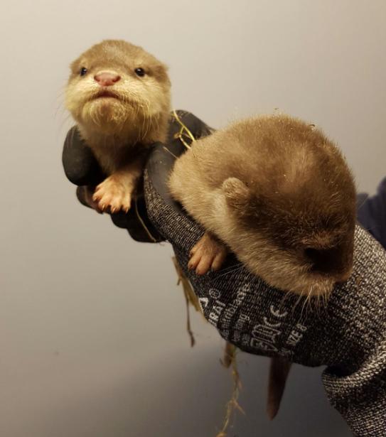 otter babys