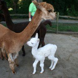 Alpaca-veulentje geboren in Dierenwijck