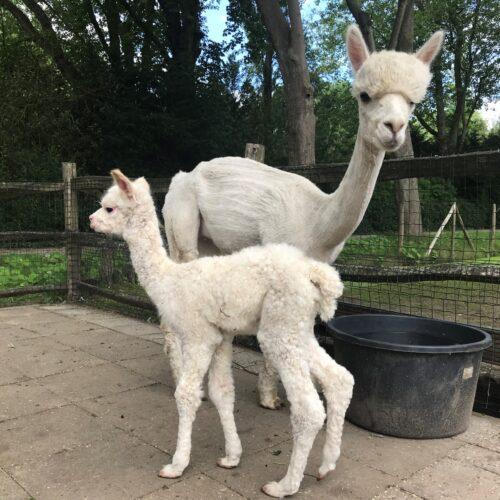 De baby alpaca heeft een naam!