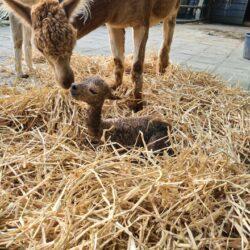Baby alpaca heeft een naam